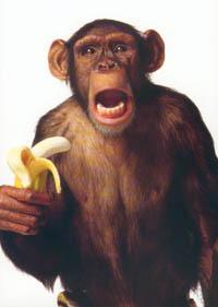 Gambar Monyet Bawa Pisang Maret 2013 Berburu Hikmah Kehidupan Laman 2